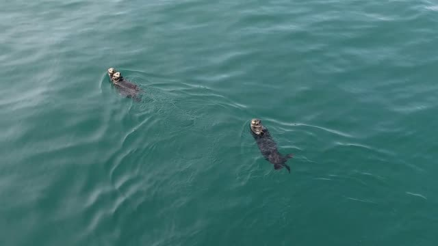 sea otter (enhydra lutris) - demina islands - two animals stock videos & royalty-free footage