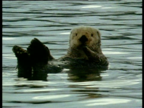 sea otter dreamily floats on sea and is startled as it recognises camera. slowly drifts towards camera occasionally blinking its eyes. - sorpresa video stock e b–roll