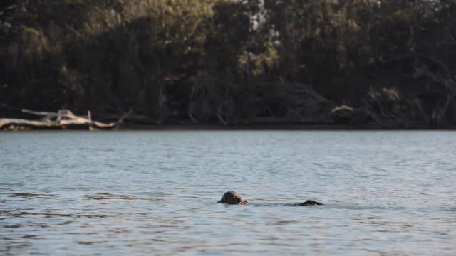 sea otter eating a fish in glistening bay water - otter stock-videos und b-roll-filmmaterial