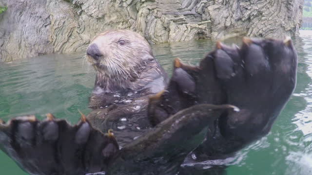 vídeos y material grabado en eventos de stock de cu sea otter eating close to shore then underwater as it dives - forrajear