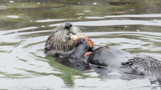 sea otter eating crab - otter stock videos and b-roll footage