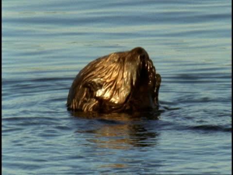 a sea otter eats on the water's surface. - カワウソ点の映像素材/bロール