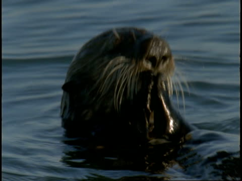 a sea otter eats shellfish in monterey bay. - otter stock-videos und b-roll-filmmaterial