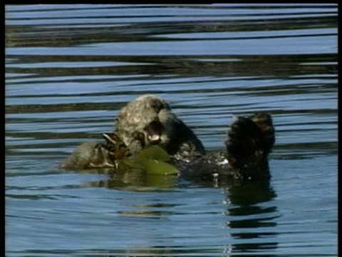 cu sea otter, enhydra lutris, in water wrapped in kelp, arctic circle - otter stock-videos und b-roll-filmmaterial