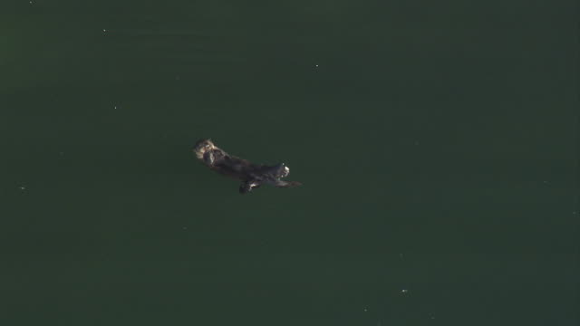 a sea otter flips and turns in the ocean. available in hd. - otter stock videos & royalty-free footage