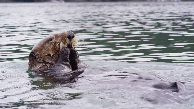 cu sea otter floating and eating shellfish then swimming away - otter stock videos & royalty-free footage