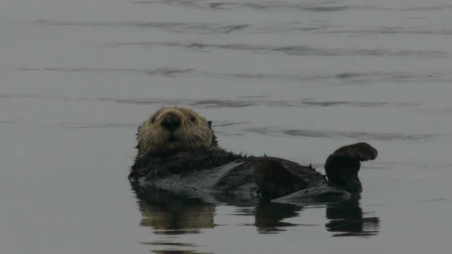 vídeos y material grabado en eventos de stock de sea otter floating on back, moss landing, california - forrajear