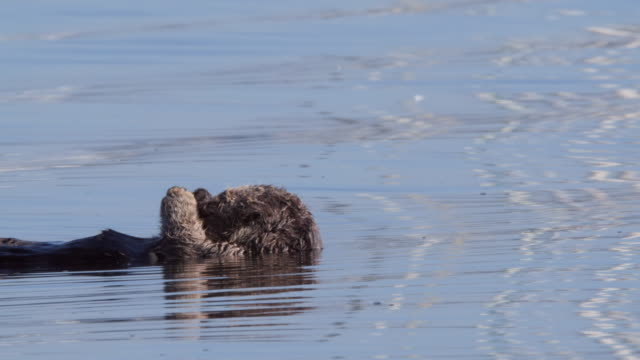 sea otter floating on water, enhydra lutris swimming in sea - moss landing, california - otter stock-videos und b-roll-filmmaterial