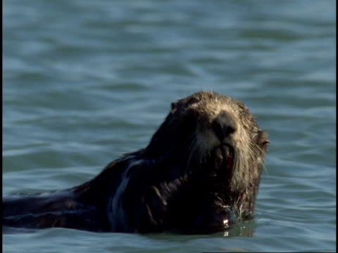 a sea otter floats in monterey bay as it cleans its paws. - otter stock-videos und b-roll-filmmaterial