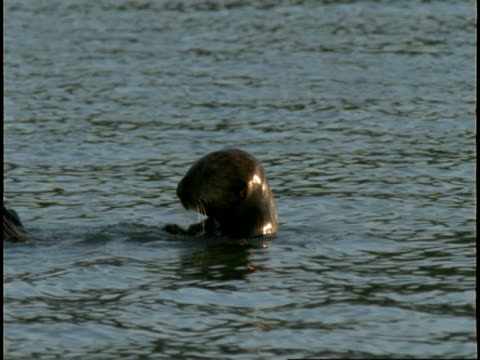 a sea otter floats on its back, then submerges. - otter stock videos & royalty-free footage