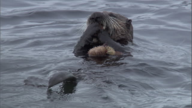 a sea otter floats on its back while eating a sea urchin. available in hd. - ricci di mare video stock e b–roll