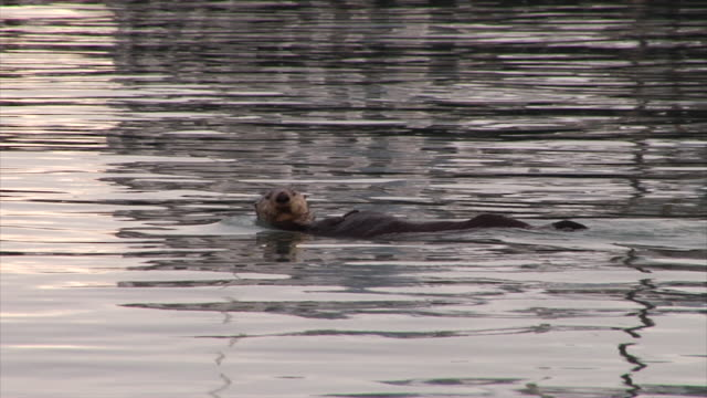 sea otter frolics in calm bay at sunrise - otter stock videos and b-roll footage