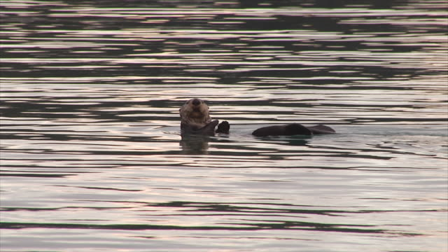 sea otter frolics in calm bay at sunrise - otter stock videos & royalty-free footage