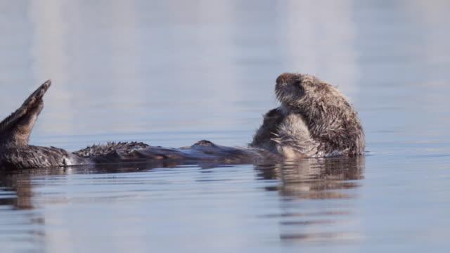 vídeos y material grabado en eventos de stock de sea otter grooming while floating on water, enhydra lutris swimming in sea - moss landing, california - acicalarse