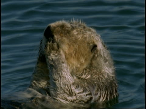a sea otter grooms itself as it floats in monterey bay. - otter stock-videos und b-roll-filmmaterial