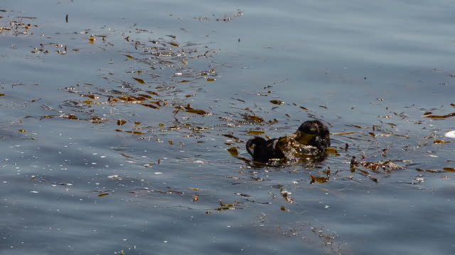 sea otter hanging out in a bed of seaweed - otter stock-videos und b-roll-filmmaterial