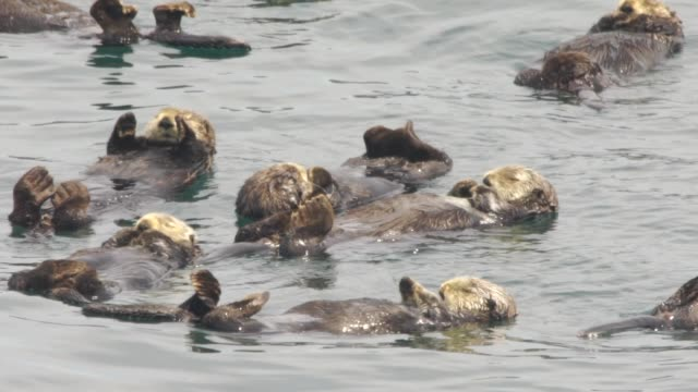 sea otter (enhydra lutris) - kuril islands - otter stock videos & royalty-free footage