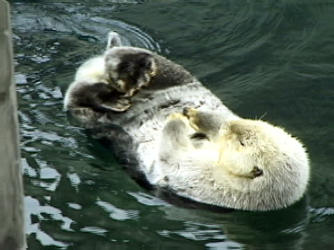 sea otter on its back - auf dem rücken liegen stock-videos und b-roll-filmmaterial