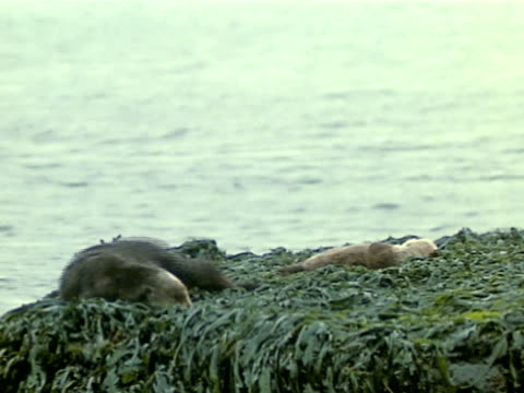 sea otter on top of rock covered w/ kelp sliding down into water turning on back floating - kelp stock videos & royalty-free footage
