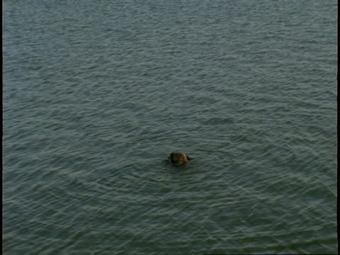 vidéos et rushes de a sea otter rolls and spins as it grooms its fur in monterey bay. - wide shot