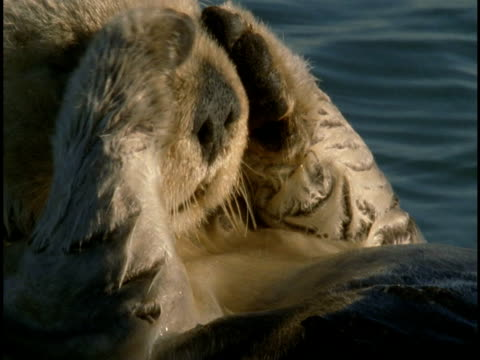 a sea otter rubs its face with its paws in monterey bay. - otter stock-videos und b-roll-filmmaterial