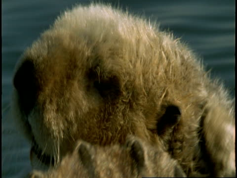 A sea otter scratches its head during grooming.
