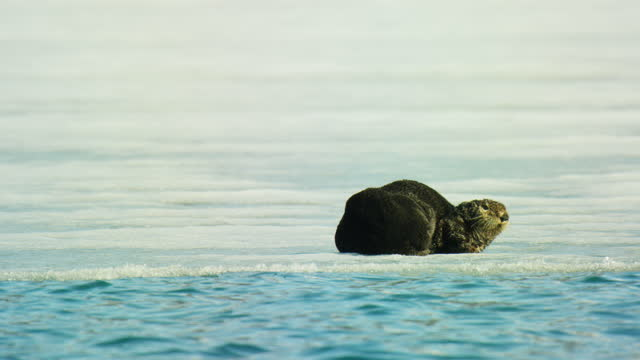 sea otter sleeping on edge of ice sheet then looking around with sea in foreground - otter stock videos & royalty-free footage
