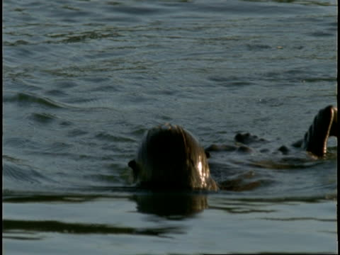 a sea otter splashes and rolls as it grooms itself in monterey bay. - otter stock-videos und b-roll-filmmaterial