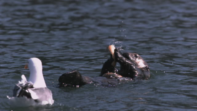 slomo sea otter strikes mussel shells together - otter stock-videos und b-roll-filmmaterial