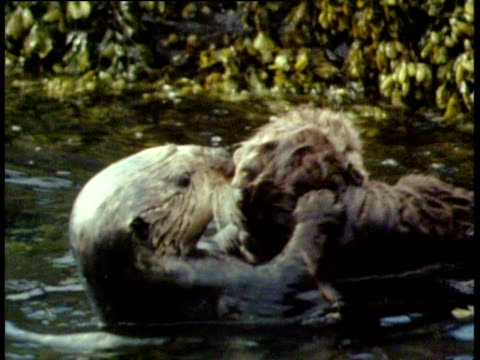 vidéos et rushes de sea otter swimming backwards in sea holding wriggling wet juvenile on stomach - montrer la voie