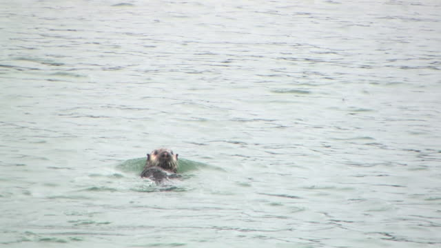 ws, sea otter (enhydra lutris) swimming, glacier bay national park and preserve, alaska, usa - aquatic organism stock videos & royalty-free footage