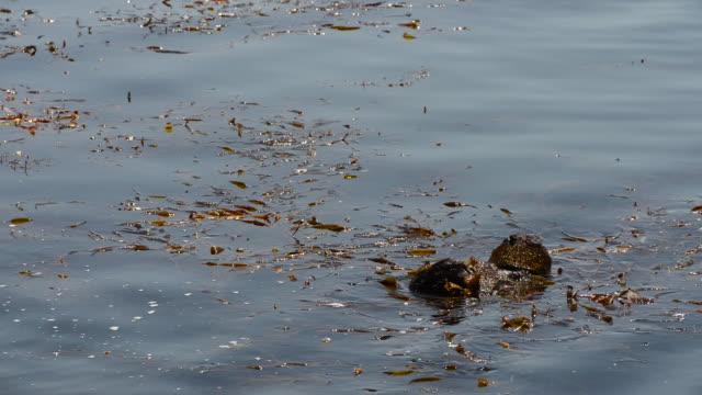 sea otter swimming in a bed of seaweed - 海草点の映像素材/bロール