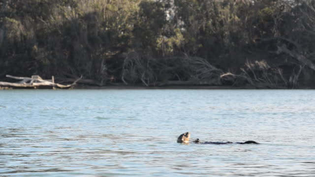 sea otter swimming in bay and happily eating a fish near shoreline - otter stock-videos und b-roll-filmmaterial