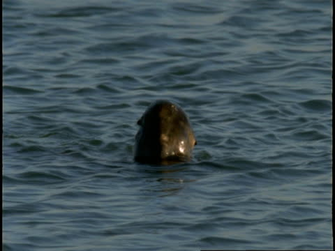 a sea otter swims and dives in monterey bay. - otter stock-videos und b-roll-filmmaterial