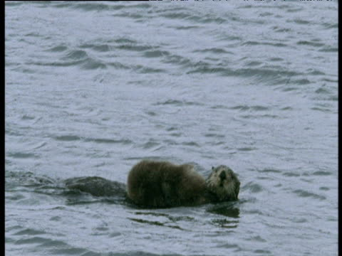 sea otter swims past camera carrying baby on its chest, montague island, alaska - laziness stock videos & royalty-free footage