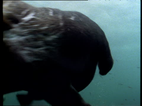 sea otter swims through murky green water towards camera, bumps into it, looks back puzzled and then swims away - otter stock videos & royalty-free footage