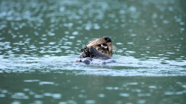 sea otter - otter stock-videos und b-roll-filmmaterial