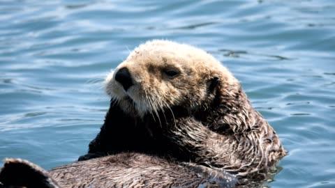 sea otter - animals in the wild bildbanksvideor och videomaterial från bakom kulisserna