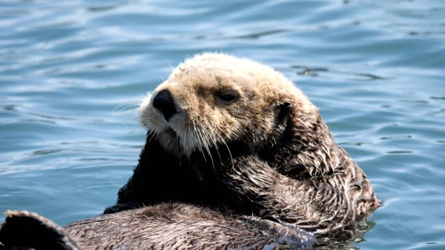 sea otter - cute stock videos & royalty-free footage