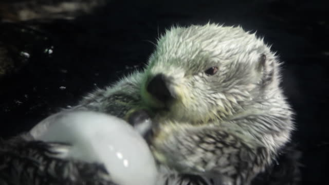 sea otter - otter stock-videos und b-roll-filmmaterial