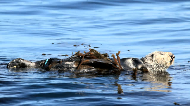 sea otter - seaweed stock videos & royalty-free footage