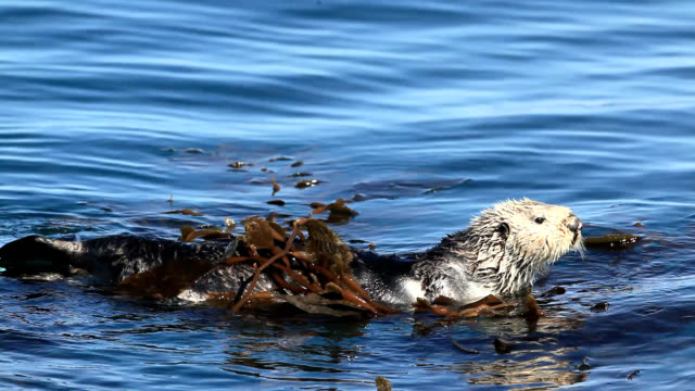 sea otter - seetang stock-videos und b-roll-filmmaterial