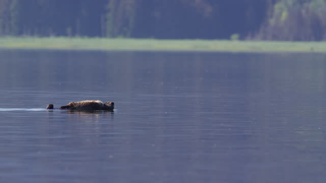 vidéos et rushes de ws pan sea otter with sleeping pup on it swims past shoreline background - one animal