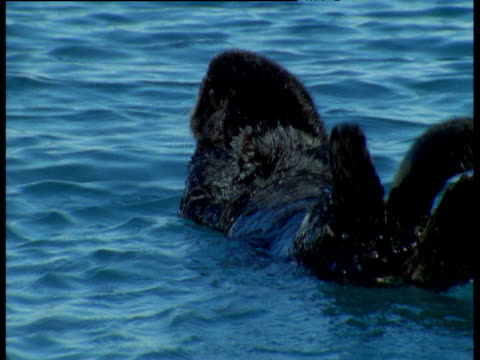 Sea otter yawns and turns over as it bobs on water, Alaska