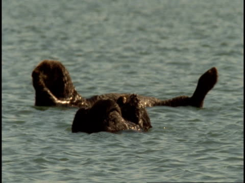 Sea otters float on their backs in Monterey Bay.