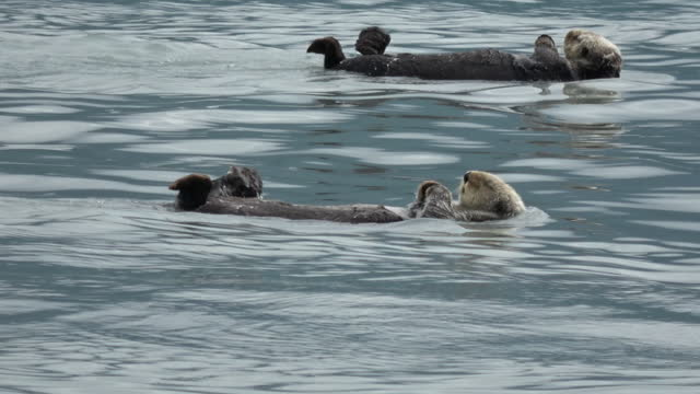 sea otters floating on sea / alaska, usa - documentary footage stock videos & royalty-free footage
