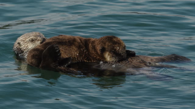 sea otters, pup nursing, morro bay - otter stock videos & royalty-free footage