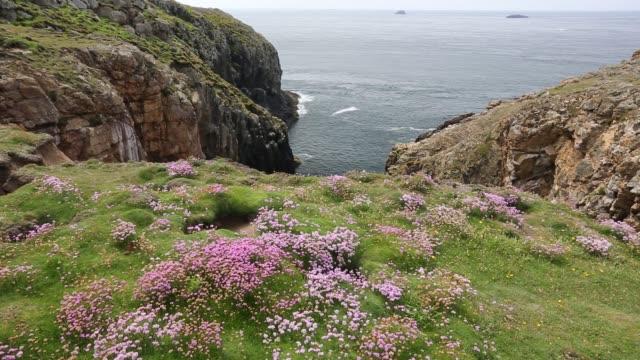 sea pink or thrift, armeria maritima, flowering on ramsey island, pembrokeshire, wales, uk. - pembrokeshire stock-videos und b-roll-filmmaterial