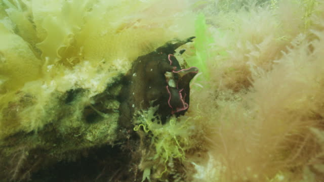 vídeos de stock, filmes e b-roll de sea slug, aplysia punctata - lesma