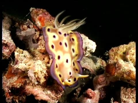sea slug, c. kuneii, frill moving in current, mabul, borneo, malaysia - animal markings stock videos & royalty-free footage